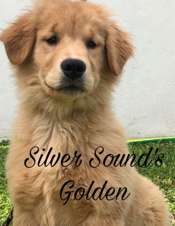 Cachorra golden retriever excelente linea de sangre nacida 17 de junio